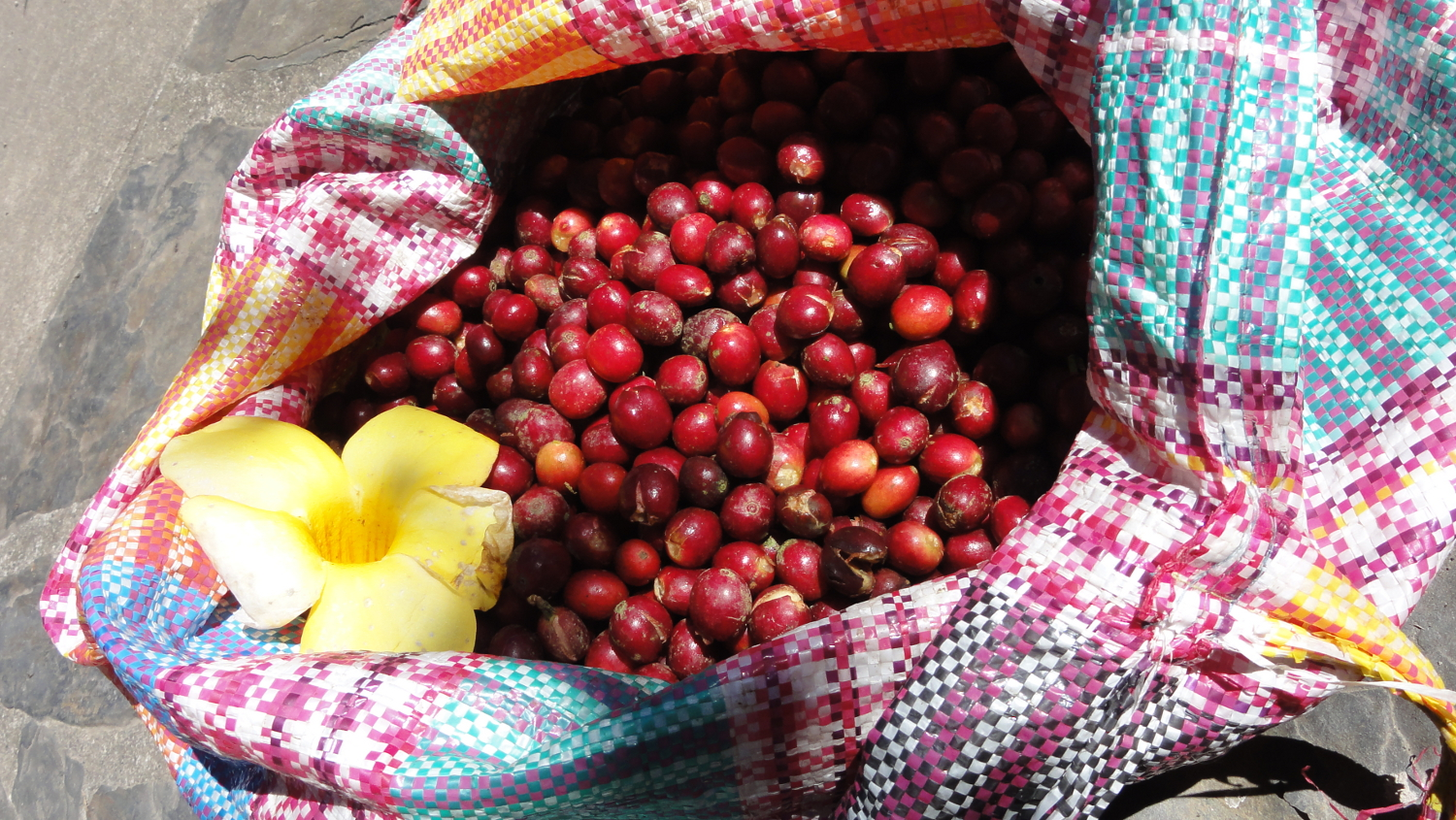 fresh coffee harvest from the garden